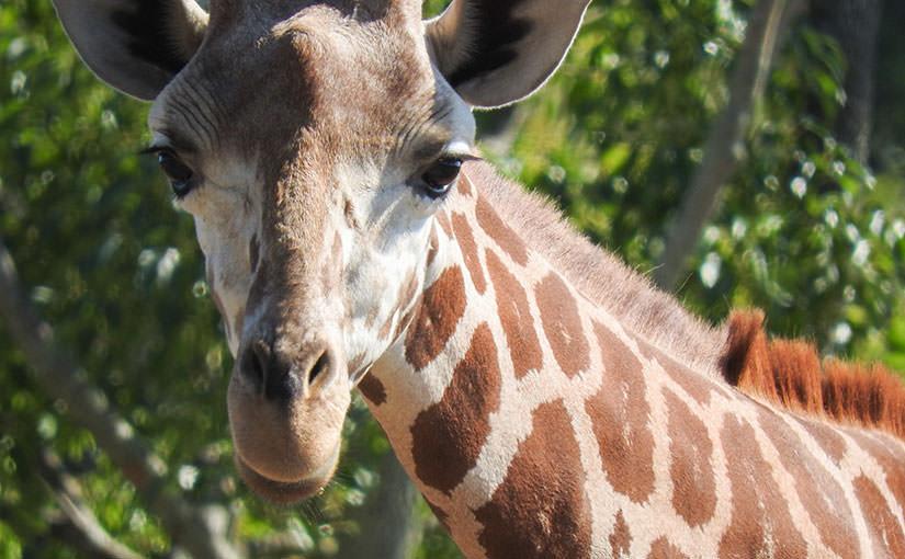 アフリカカルチャー講座「アフリカの動物を観察しよう in ズーラシア」