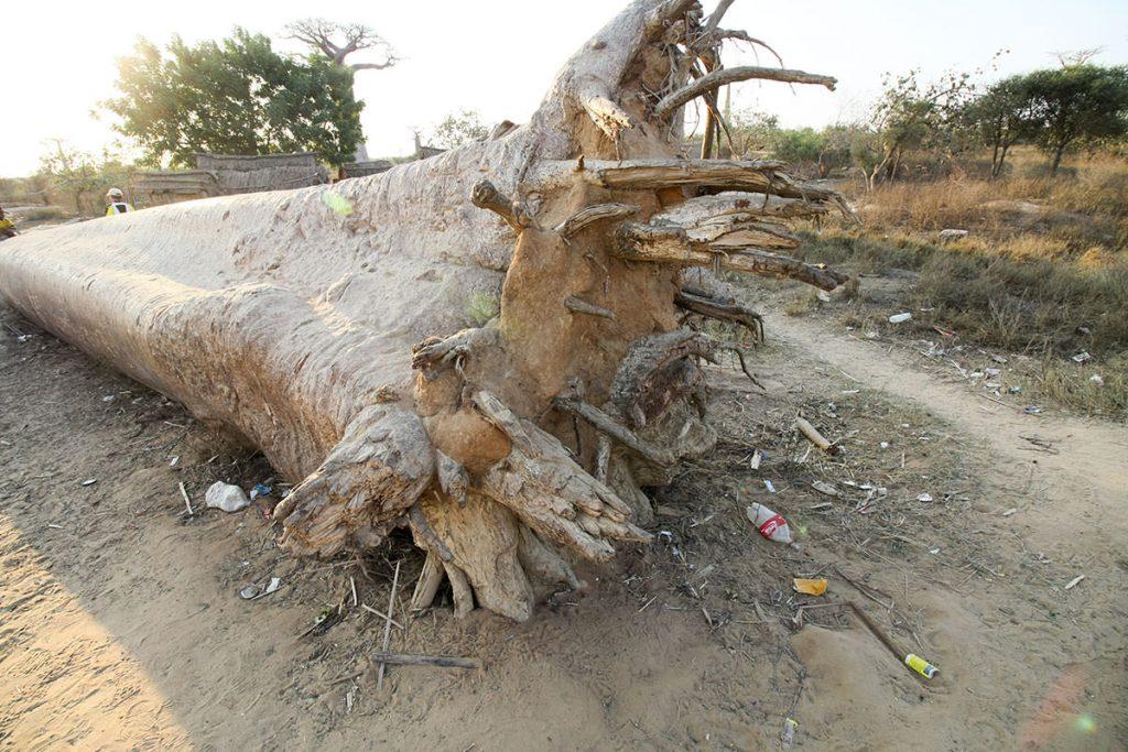 サイクロンで倒れてしまったバオバブの木