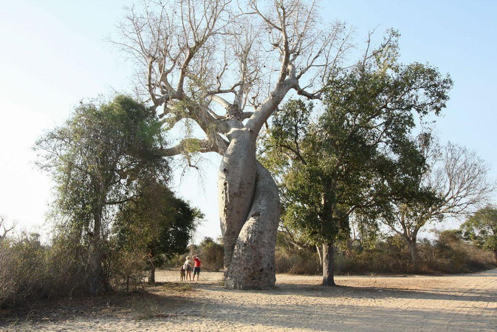 並木道から少し離れた場所に生えている愛し合うバオバブ(バオバブの種類:アダンスニア・フニィ)
