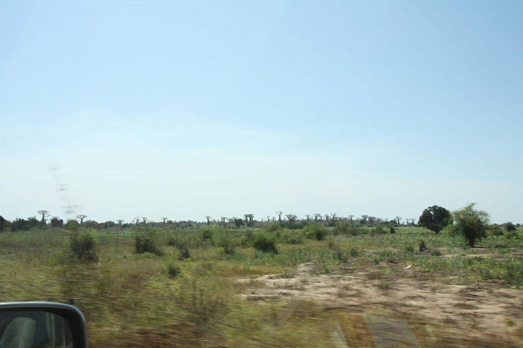 村へ行く道中も、迫力あるバオバブの木が乱立しています1