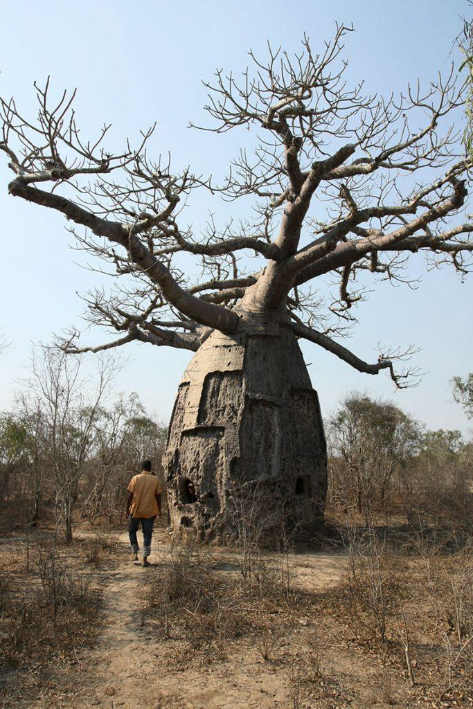 村へ行く道中も、迫力あるバオバブの木が乱立しています3