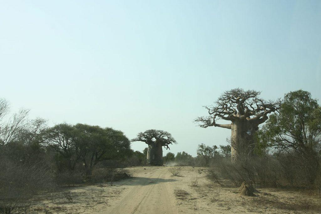 村へ行く道中も、迫力あるバオバブの木が乱立しています6
