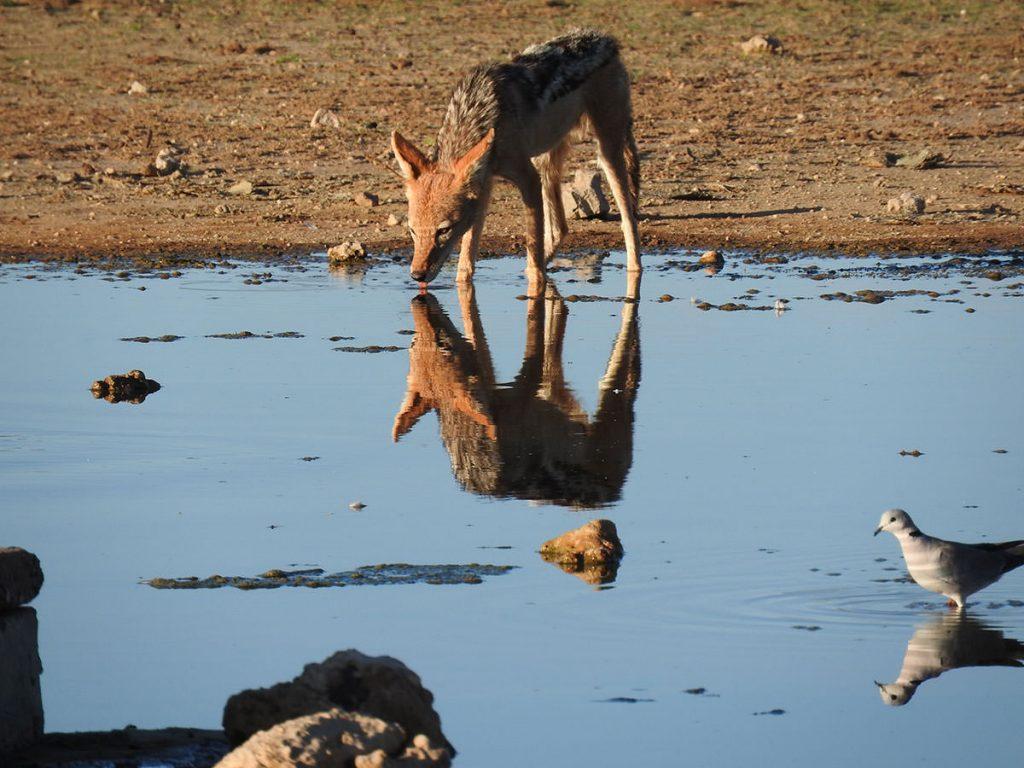 セグロジャッカルが水を飲みにやってくると鳥は警戒します。
