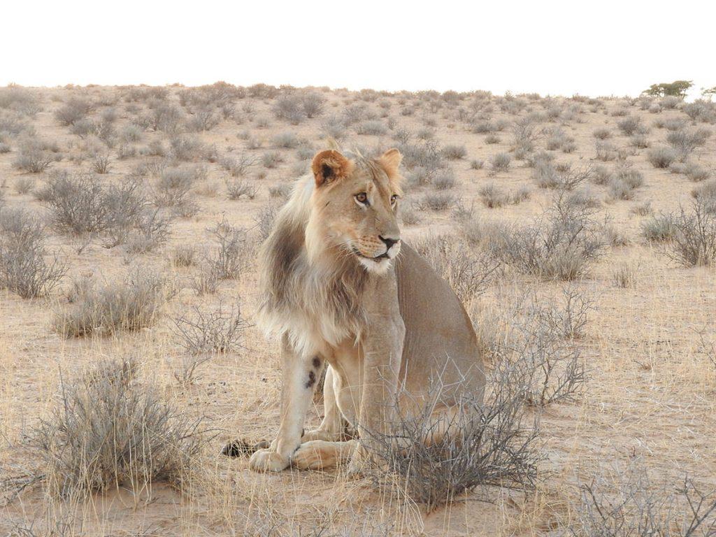 朝は若いオスライオンがじっと佇んでいました。暑くなると木陰で休んでしまいます。