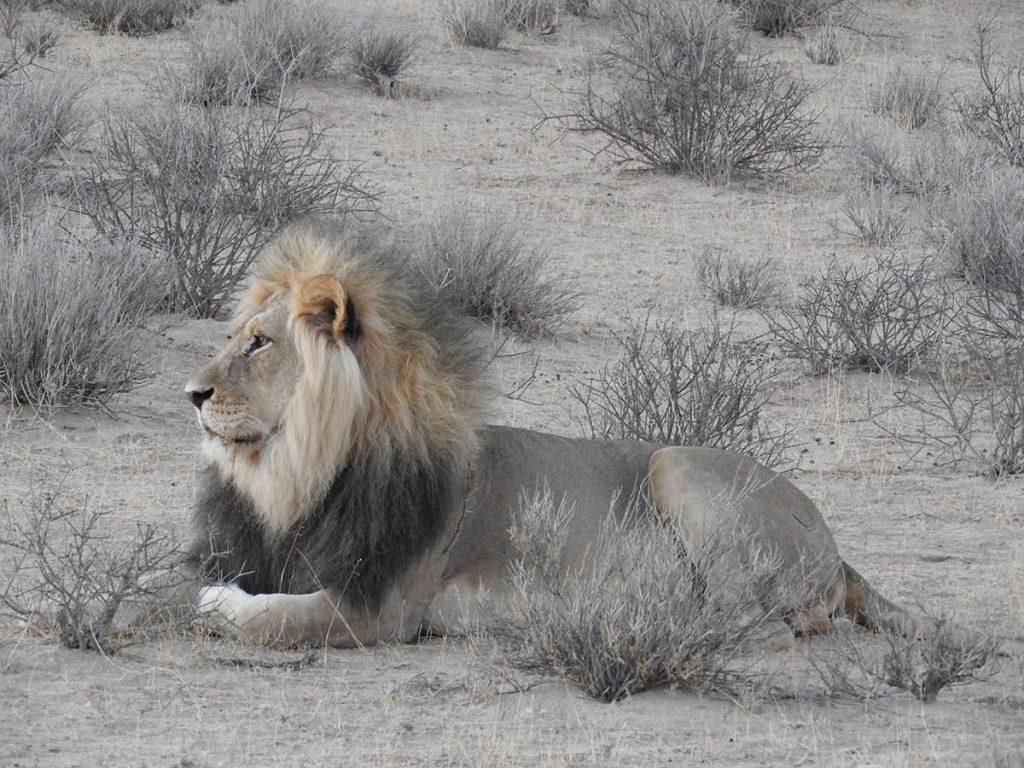 こちらは11才ほどの立派なお父さんライオンが息子の様子を見ています。