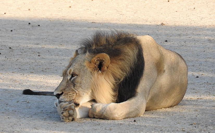 カラハリライオン