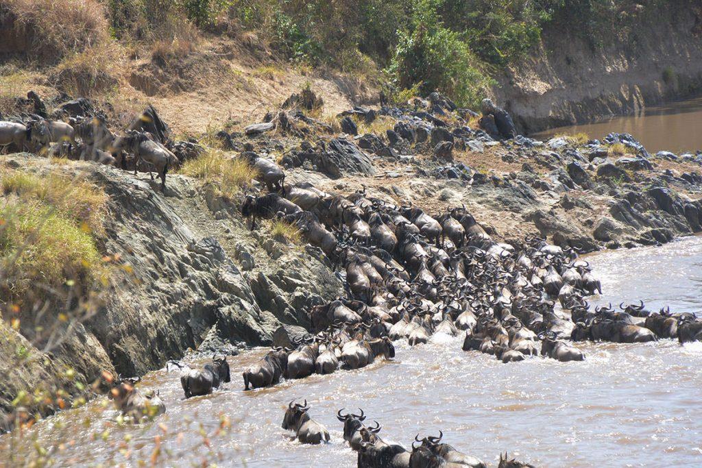 川を渡り切り、押し合うように斜面を上がっていく群れ。