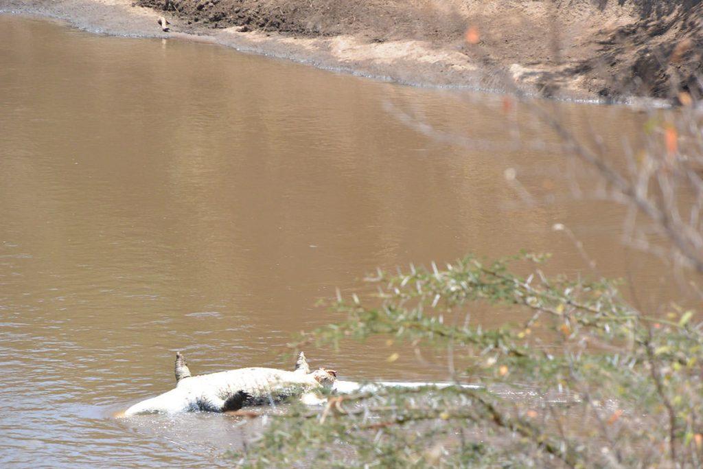 ドライバーが珍しいと写真を撮っていたワニの死骸