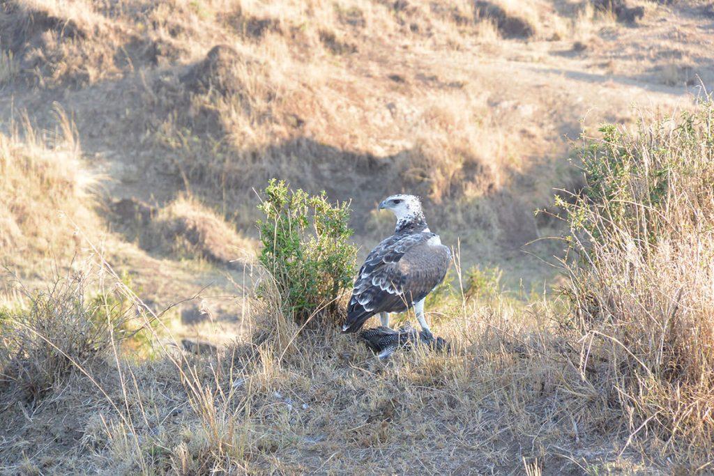 ホロホロ鳥をハンティングしたばかりのゴマバラワシの幼鳥。