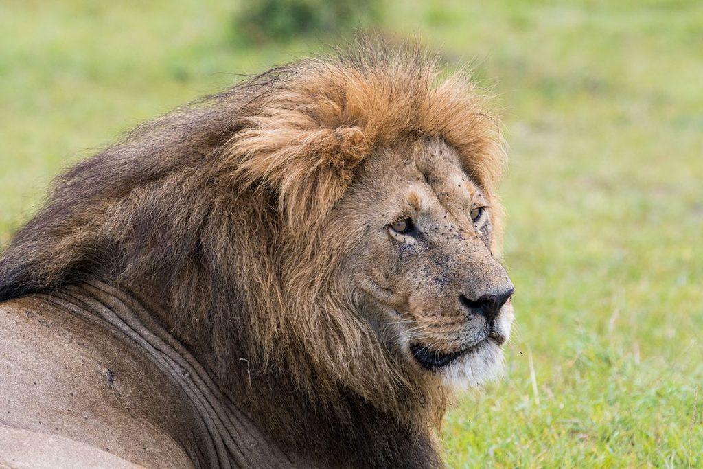 成熟したオスライオン