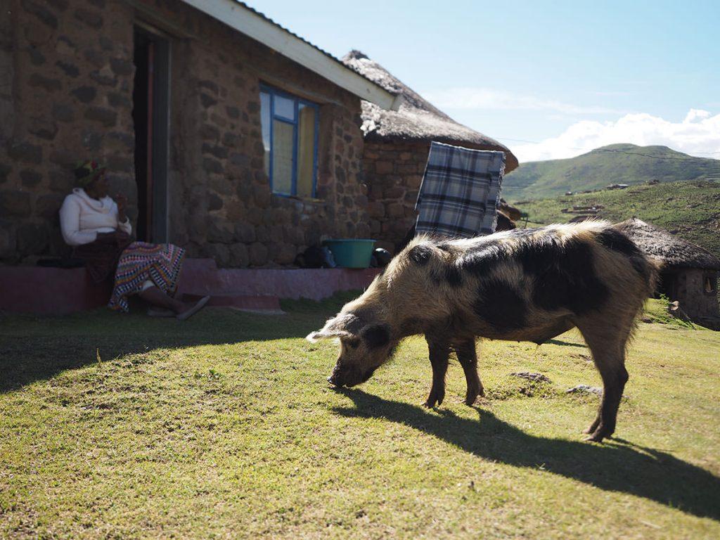 牛みたいな豚がいました。