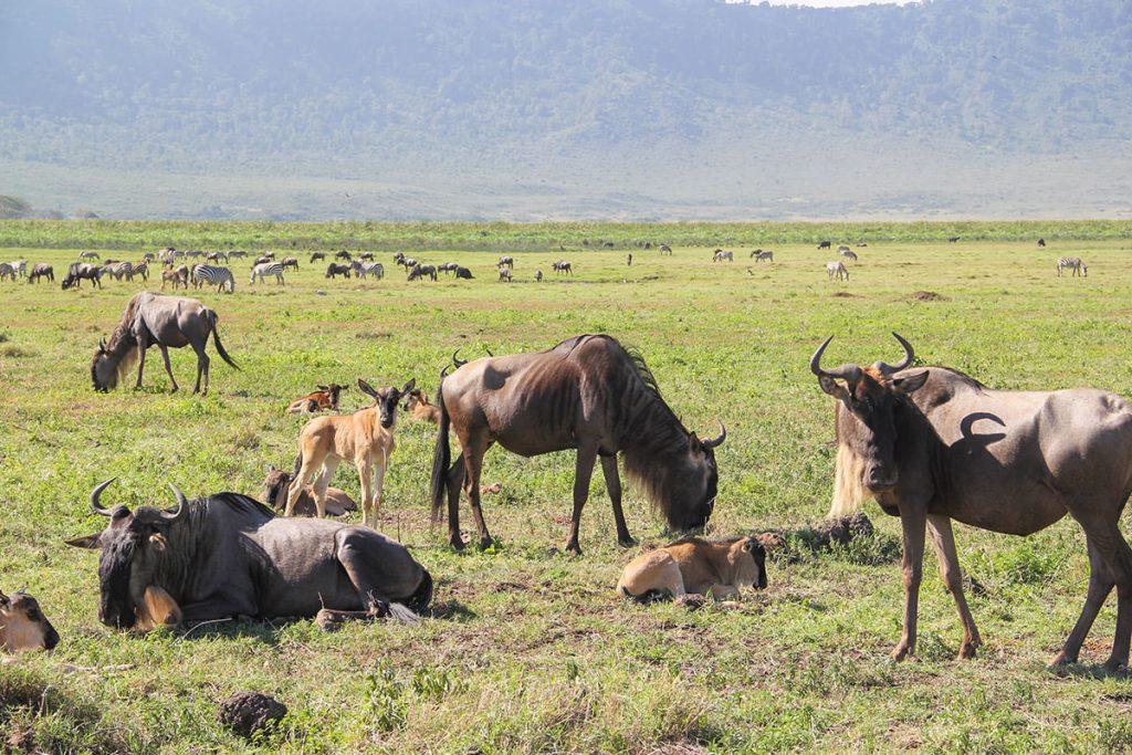ンゴロンゴロで、ヌーの親子たちをあちらこちらで見かけました!