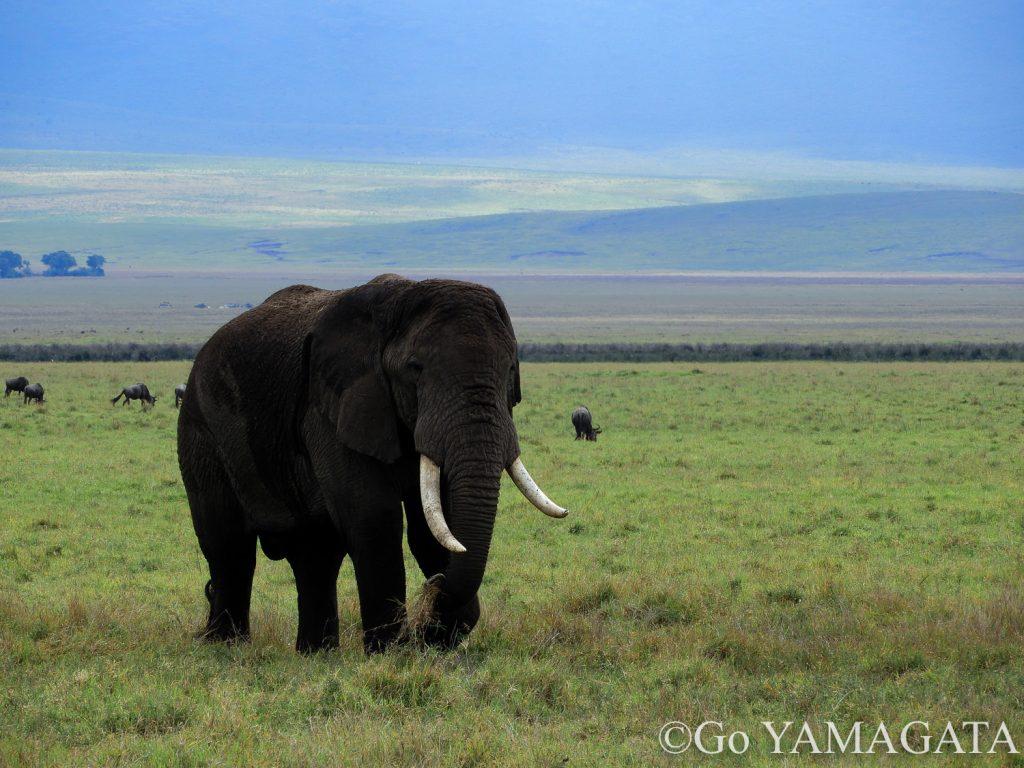 クレーターには大きなゾウも多い