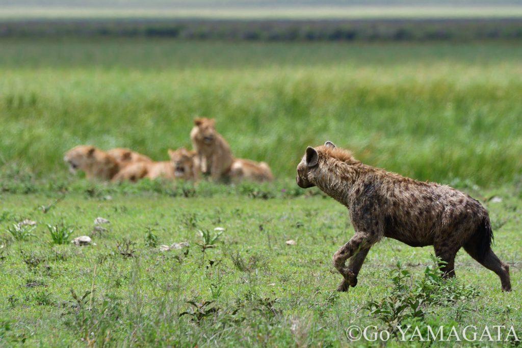 ライオンを避けるブチハイエナ