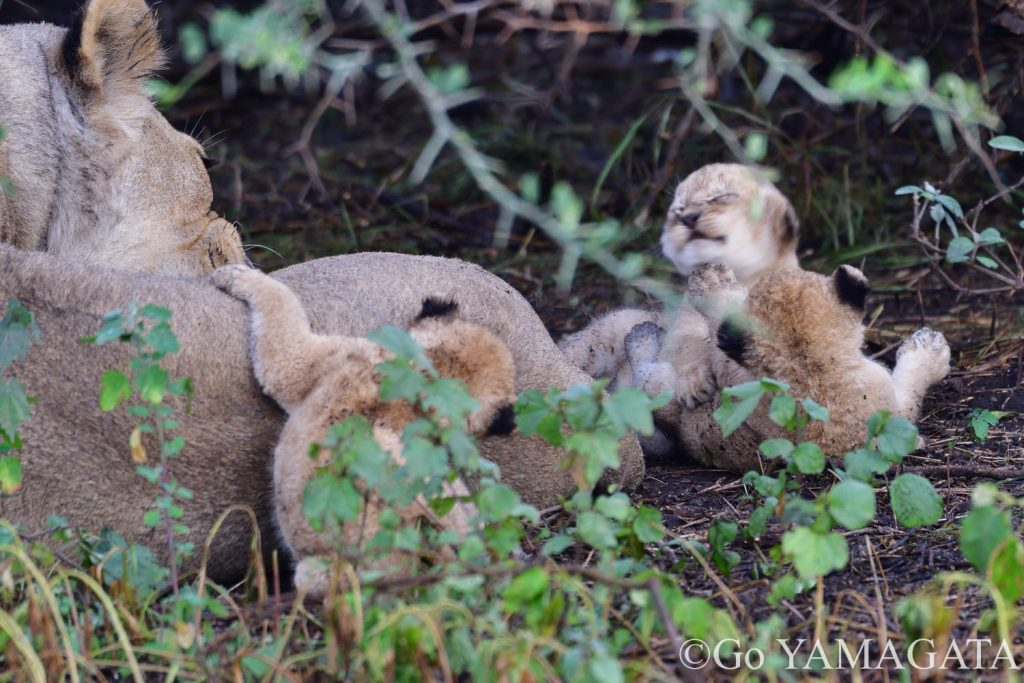 生後数日のライオンの赤ちゃん