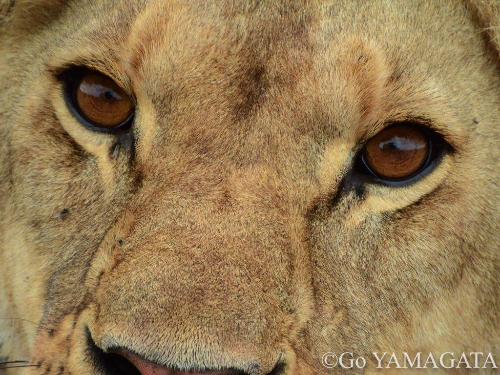 メスライオンの目