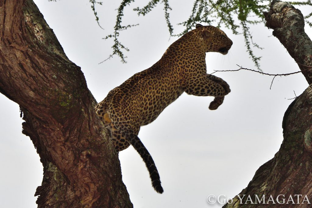 ジャンプするヒョウ