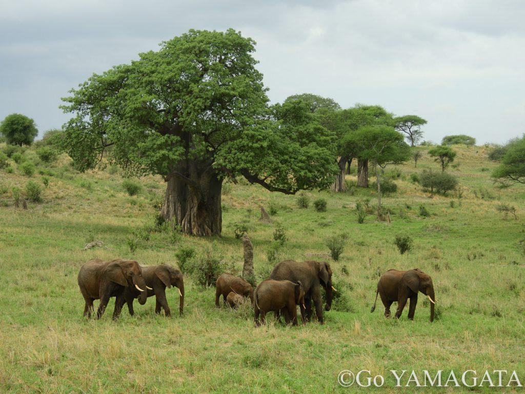 タランギレ国立公園のバオバブとゾウ