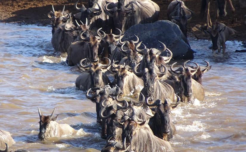 ヌー大移動の季節 マサイ・マラで徹底サファリ 10日間