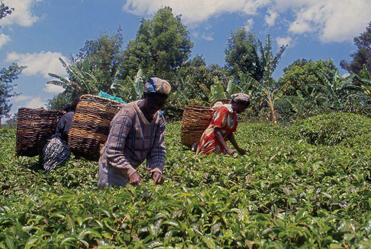 Africa Deep!! 63 マウント・ケニアが育んだ世界を席巻する紅茶