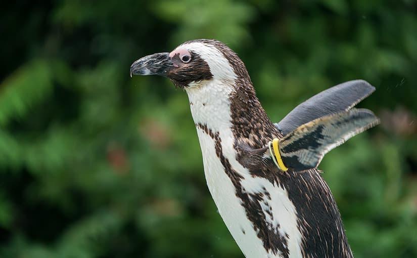 上野動物園のケープペンギンを撮ってみた