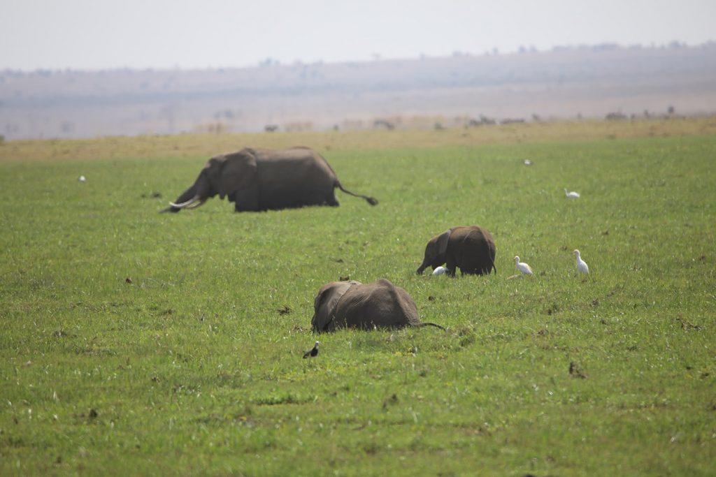 沼の水草を食べるアフリカ象とダイサギ