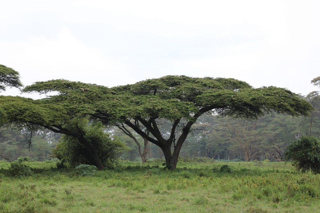 アンブレラアカシア アフリカっぽい