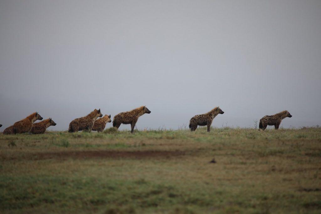 ハイエナはじわりとライオンに向かっていた