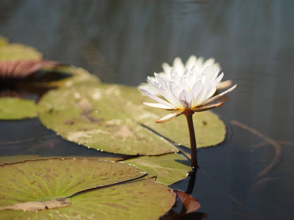デルタの中に咲く蓮の花の間を抜けていきます。