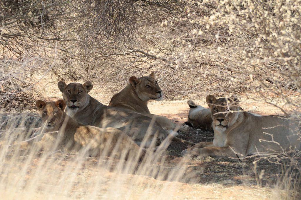 木陰で休むカラハリライオンのプライド