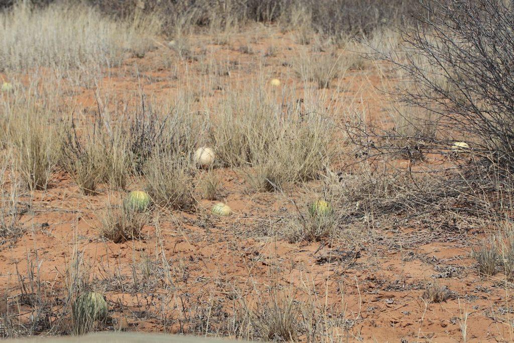 一帯に自生する野生スイカ