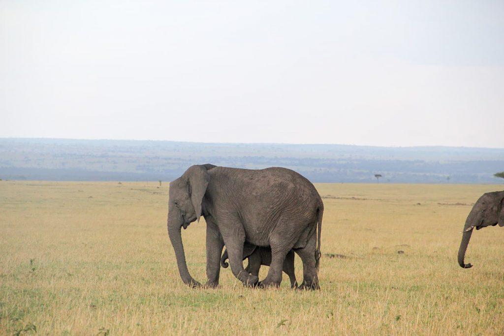 お母さんにぴったりとくっついている子ゾウ。