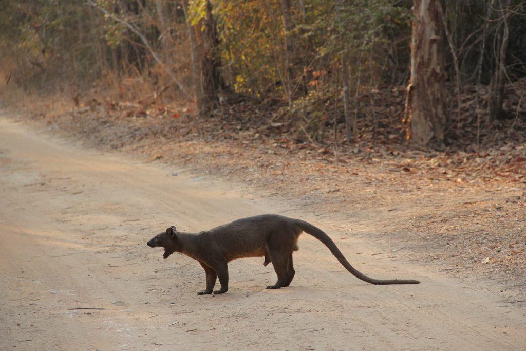 キリンディ到着後、すぐにマダガスカルで大型の肉食動物フォッサが登場!