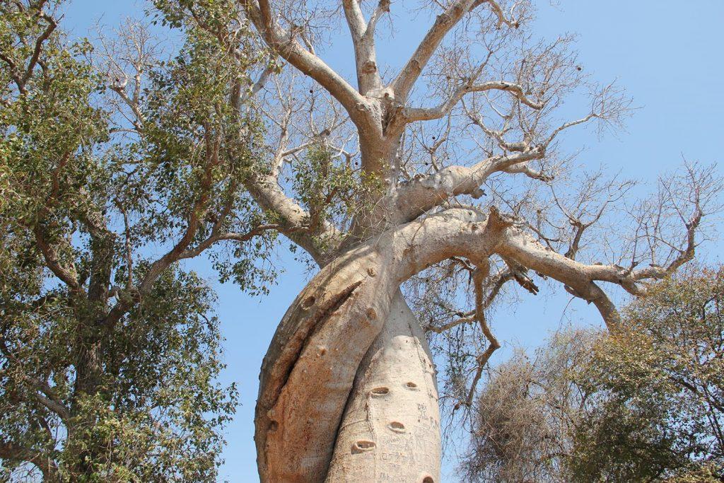 サファリの後はいよいよバオバブで有名なモロンダバ。こちらは愛し合うバオバブ。