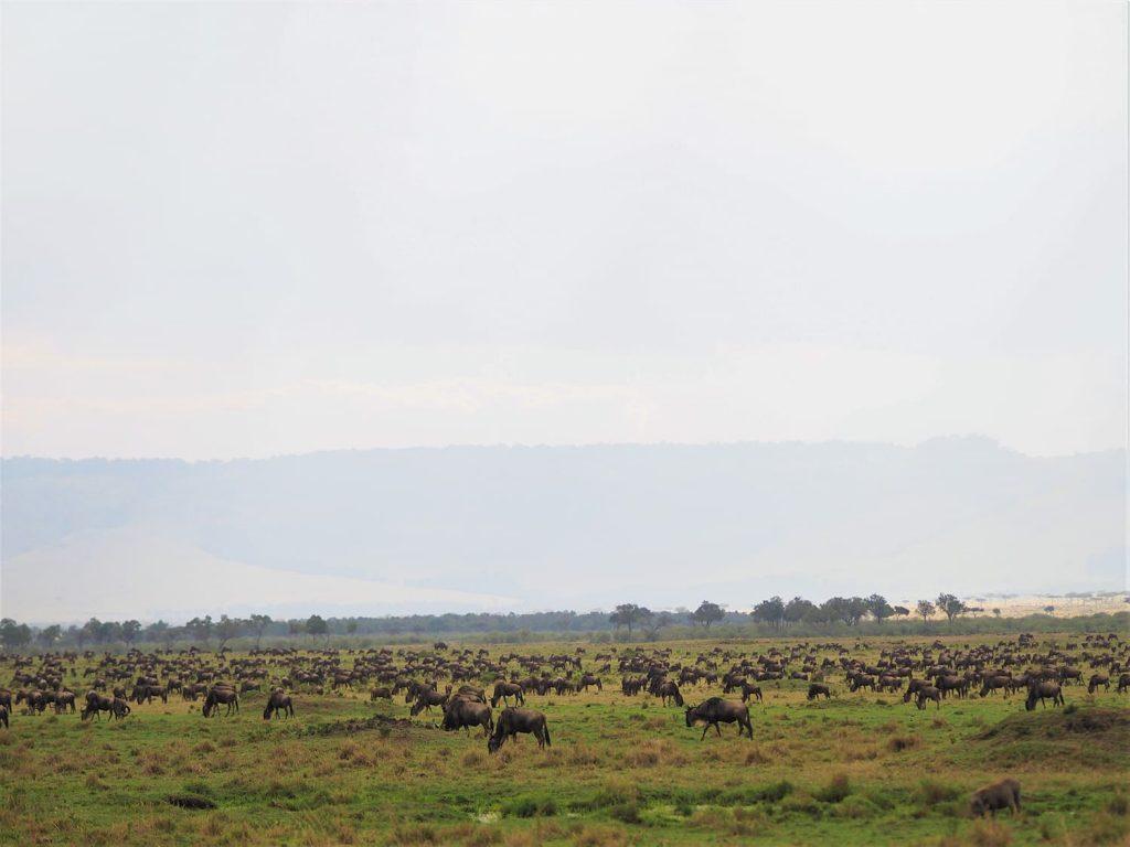 やっとヌーの群れを見つけました。マサイ・マラの北西部でした。まだまだ草が豊富な為、食事ばっかりしていてあまり動きが見えません。