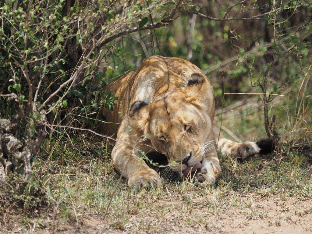 ライオンも待ちくたびれて眠り始めてしまいました。
