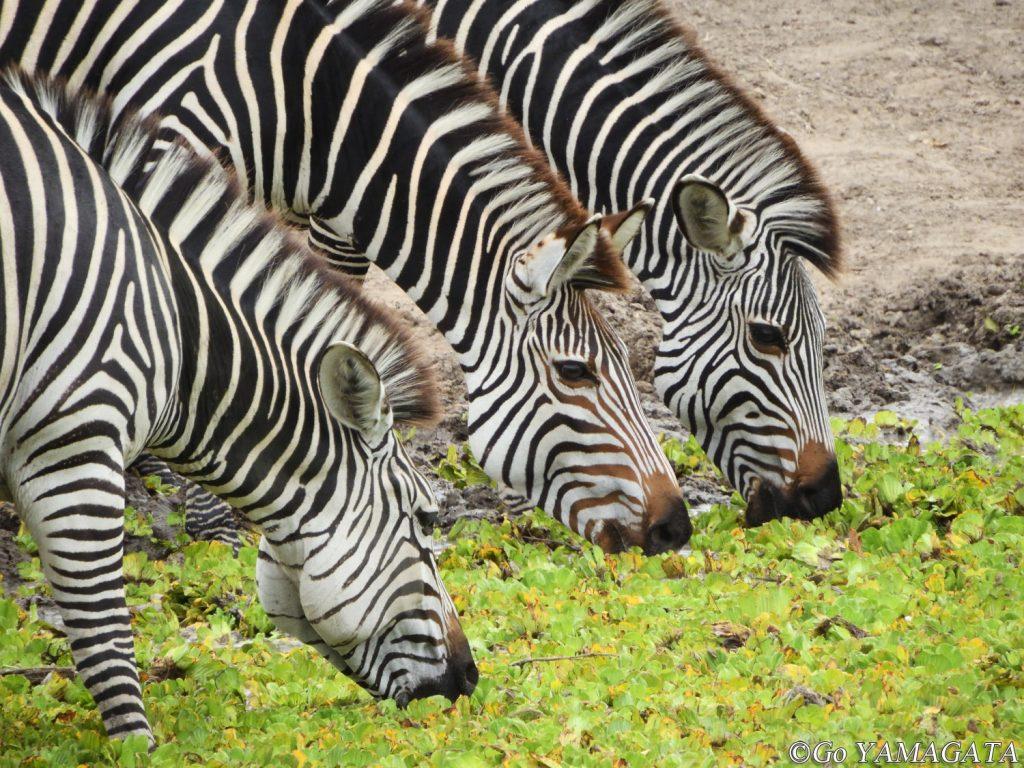 乾季は動物たちが水場の周りに集中するのでサファリには最適な時期だ