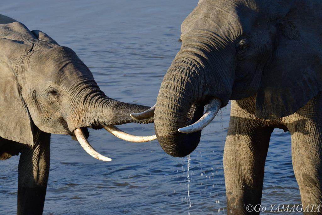 川の中で水を飲みながら挨拶を交わすゾウ