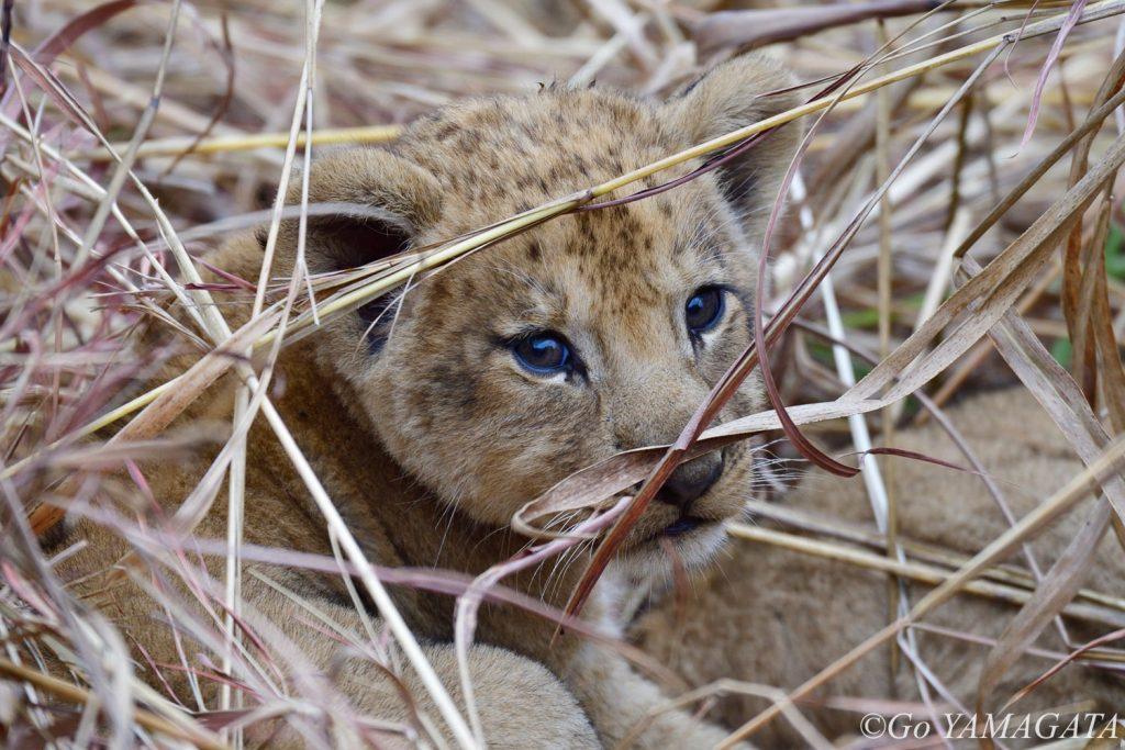 道端の草むらの中にいた生後2ヶ月程度と思われる子ライオン。母親たちも近くにいた。