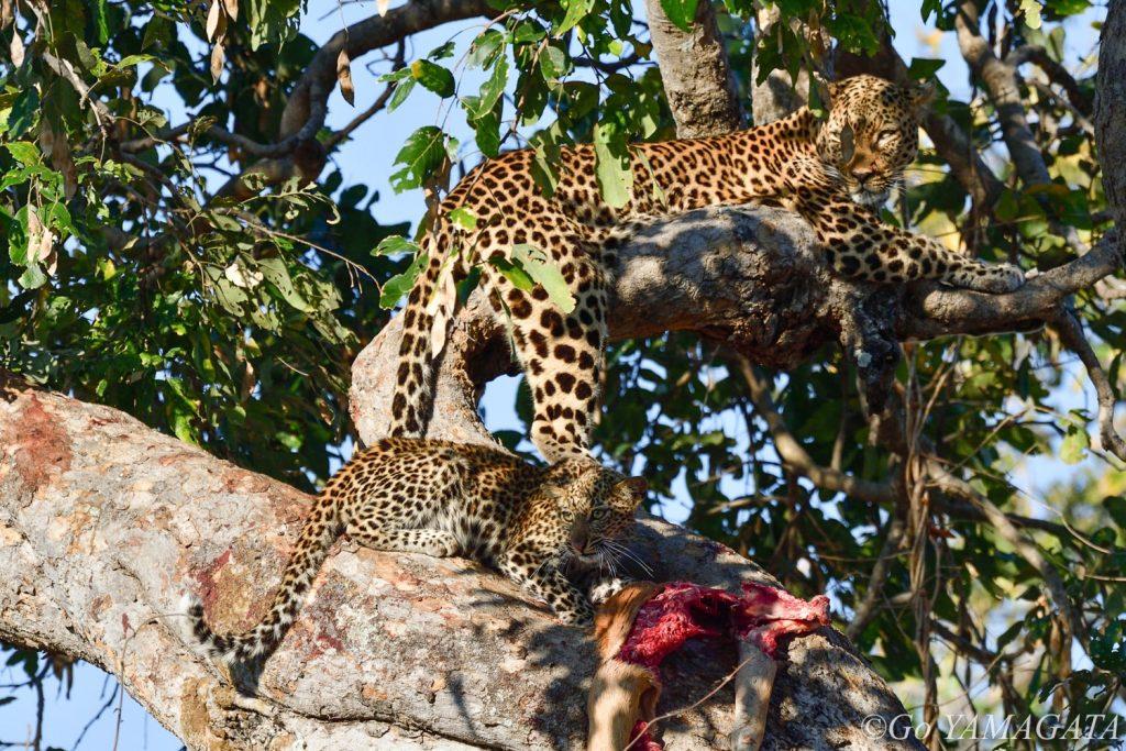 サウス・ルアングワでの最後のサファリでは、樹上でインパラを食べるヒョウの親子に遭遇した。早朝の光が綺麗にあたってくれて撮影条件は最高だった。