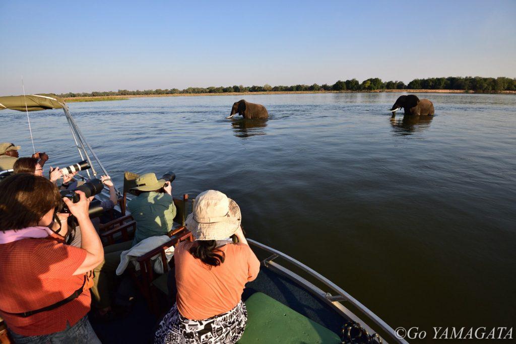 夕方、ザンベジ河を渡る二頭のオスのゾウをボートから撮影。