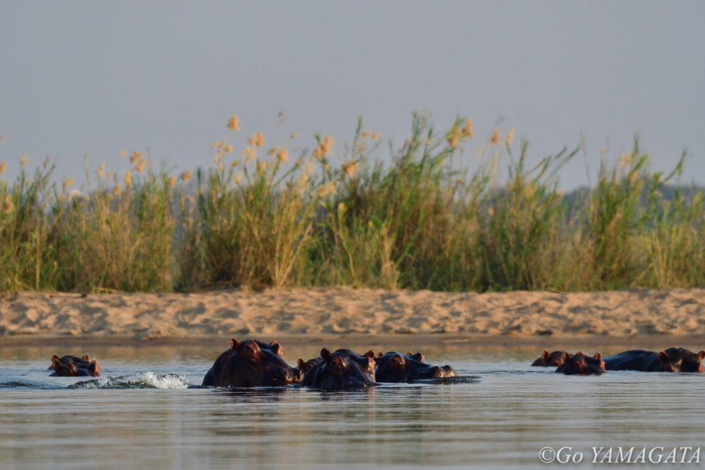 音もなく水面を進むカヌーからカバの群れを見ると、モーターボートの時とは違う印象を受ける。