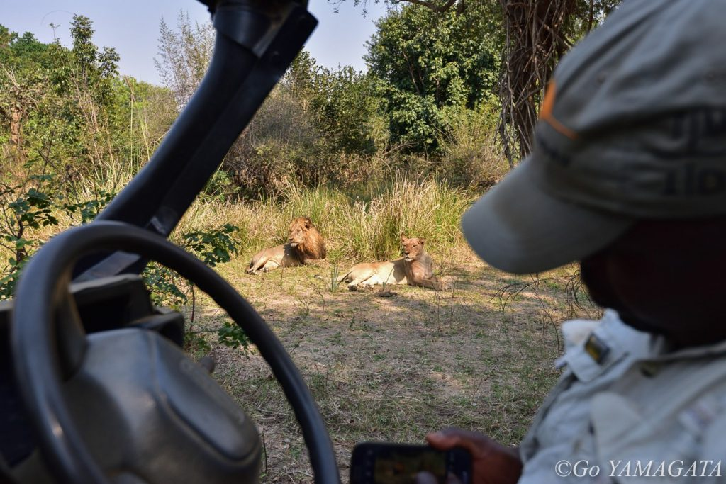 ゲームドライブで出会ったライオンたち。車が近づいてもまったく気にしていなかった。