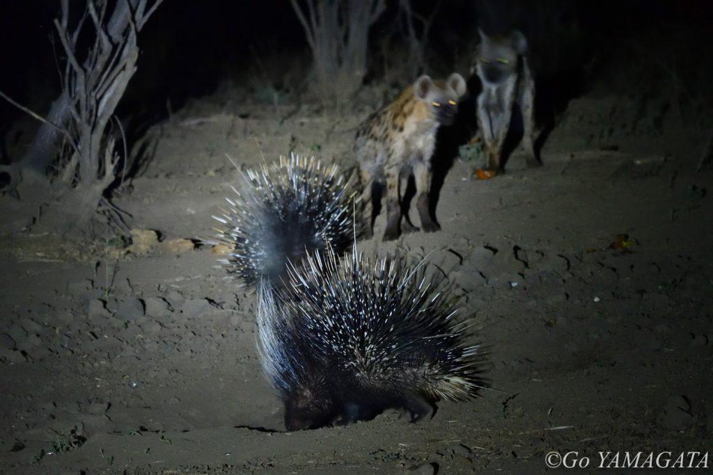 チョングウェ・リバー・キャンプには、夜行性動物を撮影できる観察小屋がある。夕食後、中で待ち構えていたらタテガミヤマアラシとブチハイエナがやってきた。