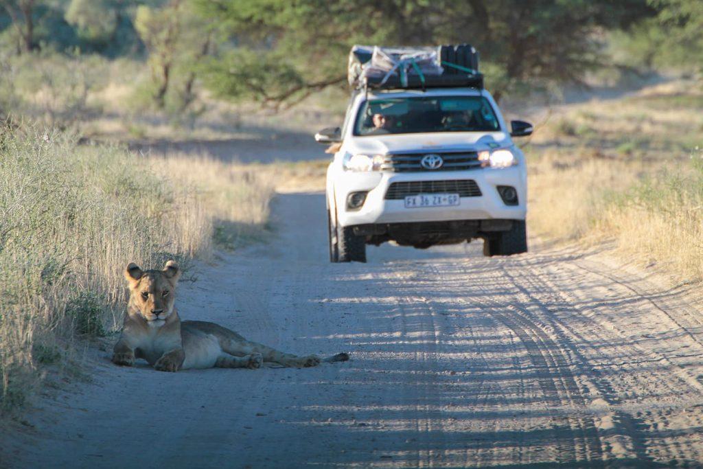 道路に座り込んだ若い子どものライオン
