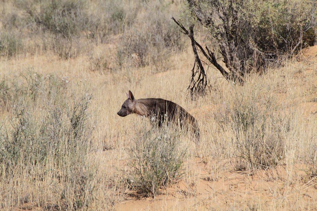 カラハリ砂漠やナミビアにのみ生息するカッショクハイエナ
