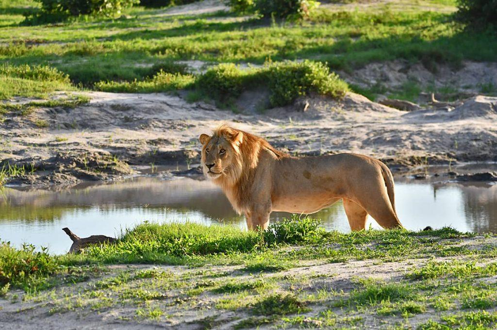 ライオンのオス1
