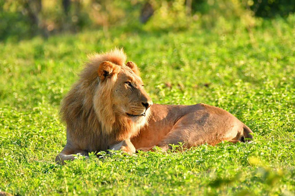 ライオンのオス2
