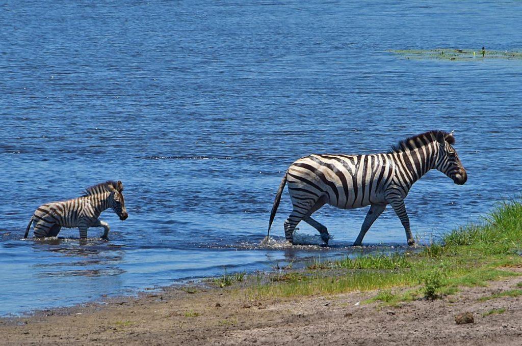 チョベ川を泳いで渡るシマウマ2
