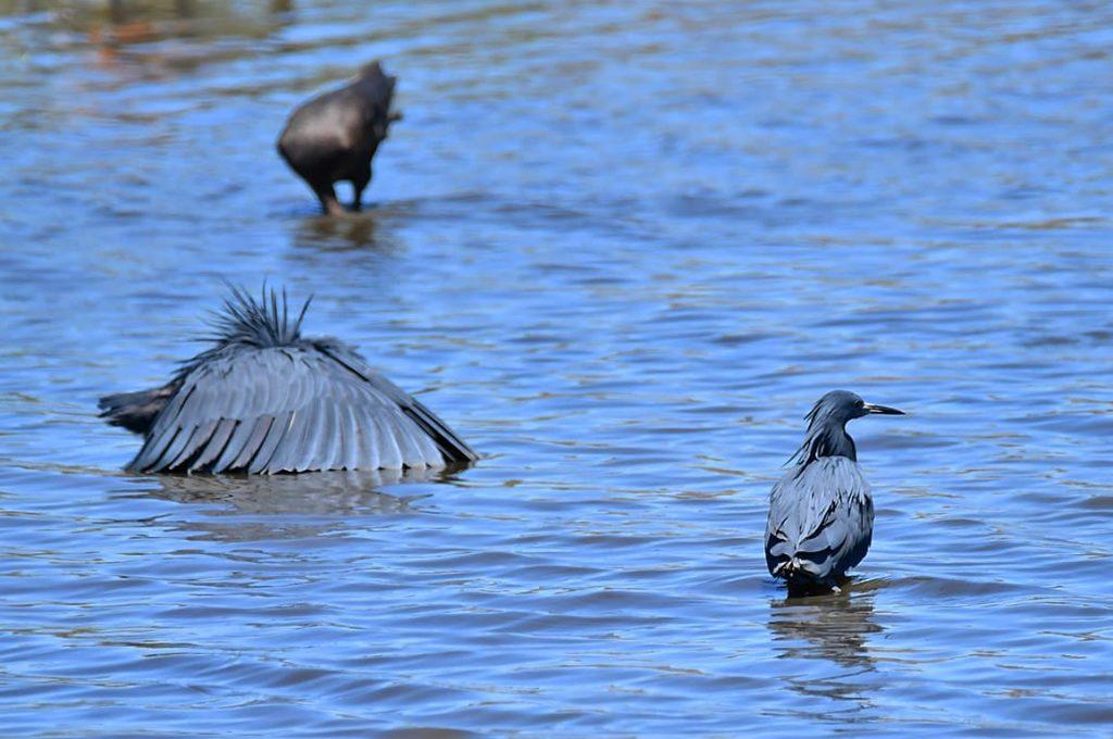 クロコサギ(羽で水面に覆いを作って魚を集める)